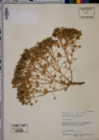 Psathyrotes pilifera image