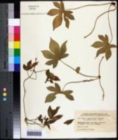 Humulus scandens image