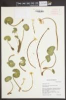 Image of Caltha biflora