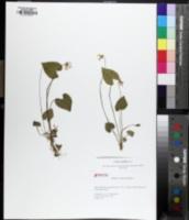 Viola cucullata image