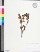 Image of Asimina reticulata