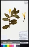 Monocostus uniflorus image