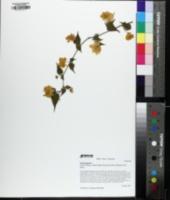 Kerria japonica image