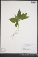 Aristolochia serpentaria image