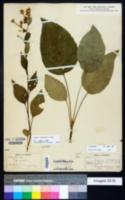 Image of Eurybia herveyi