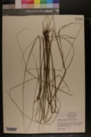Aristida affinis image