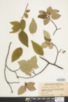 Amelanchier canadensis image