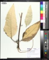 Image of Silphium mohrii