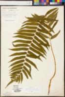 Homalosorus pycnocarpos image