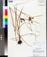 Cyperus ovatus image