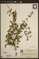 Diodia harperi image