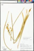 Narcissus x compressus image