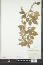 Eleutherococcus sieboldianus image
