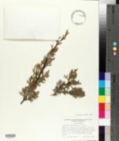 Image of Cupressus macmabiana