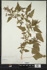 Chenopodium berlandieri var. bushianum image
