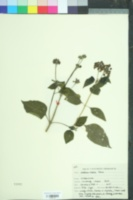 Image of Lantana indica