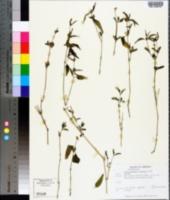 Carlowrightia arizonica image
