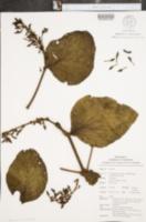 Oryctanthus alveolatus image