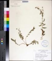 Image of Campanula floridana