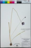 Dipterostemon capitatus subsp. capitatus image