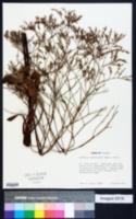 Limonium carolinianum image