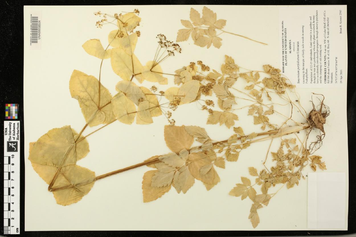 Smyrnium perfoliatum image