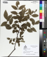 Zanthoxylum americanum image