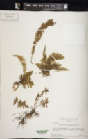 Trichomanes cristatum image