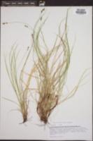 Carex albicans image