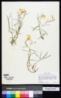 Phlox colubrina image