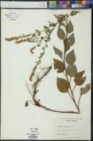 Solidago sphacelata image