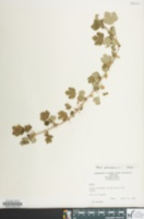 Image of Ribes uva-crispa