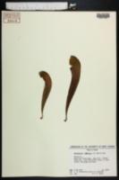 Image of Sarracenia x gilpinii