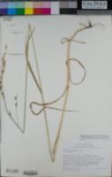 Bromus sitchensis image