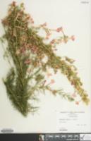 Image of Ipomopsis rubra