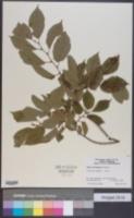 Ulmus wilsoniana image