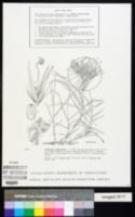 Pennisetum clandestinum image