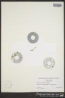 Lipocarpha micrantha image