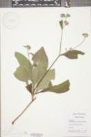 Image of Elaeocarpus carolinensis
