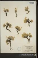 Image of Tanacetum compactum