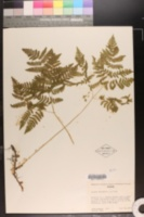 Image of Gymnocarpium dryopteris
