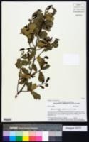 Image of Quercus cornelius-mulleri
