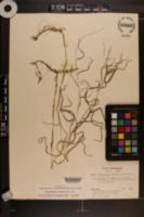 Muhlenbergia sylvatica image