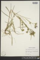 Aster hemisphericus image