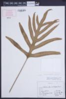 Phymatosorus grossus image
