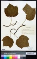 Image of Acer nipponicum