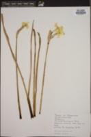 Narcissus biflorus image
