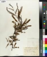 Vachellia campechiana image