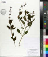 Image of Salvia urticifolia