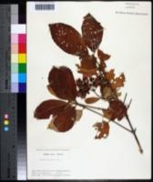 Viburnum sieboldii image